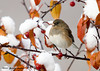 "<div class=""jaDesc""> <h4> Female Dark-eyed Junco in Snowy Crabapple Tree</h4> </div>"