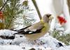 "<div class=""jaDesc""> <h4> Female Evening Grosbeak on Snowy Feeder Perch </h4> </div>"