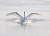 "<div class=""jaDesc""> <h4> Mute Swan Starting Bow Wave - February 22, 2016</h4> <p> </p> </div>"