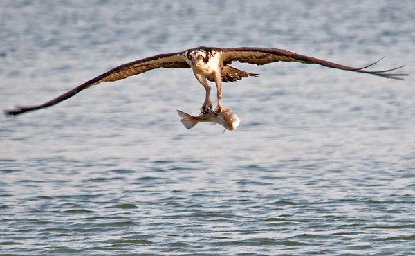 "<div class=""jaDesc""> <h4> Osprey Catches a Big One in Bay at Virginia Beach - April 15, 2012</h4> <p> </p> </div>"