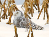 "<div class=""jaDesc""> <h4> and there is a good reason, I am a lady Snowy Owl </h4> </div>"
