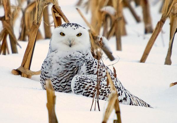 "<div class=""jaDesc""> <h4> Hi, I know I look like Harry Potter's Hedwig </h4> </div>"