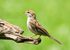 "<div class=""jaDesc""> <h4> Chipping Sparrow with White Millet Seed</h4> <p></p> </div>"