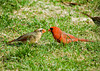 "<div class=""jaDesc""> <h4> Male Cardinal Passed Sunflower Seed to Female</h4> <p></p> </div>"