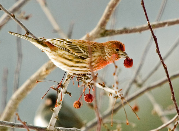 "<div class=""jaDesc""> <h4> Male House Finch with Crabapple</h4> <p></p> </div>"