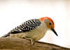 "<div class=""jaDesc""> <h4>Male Red-bellied Woodpecker Looking for Peanut</h4> <p></p> </div>"