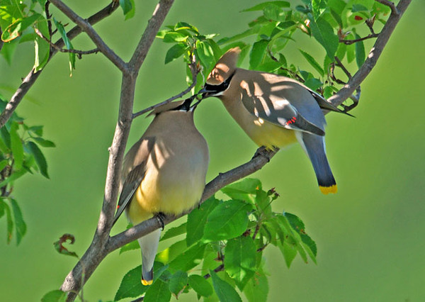 "<div class=""jaDesc""> <h4> Cedar Waxwing Offers Green Serviceberry as Courtship Gesture </h4> <p>He could not wait for them to ripen, he wanted to impress her NOW. </p> </div>"