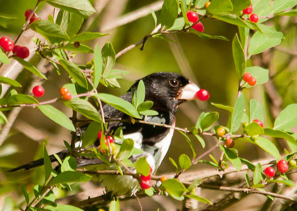"<div class=""jaDesc""> <h4>Rose-breasted Grosbeak Eating Honeysuckle Berry</h4> <p></p> </div>"