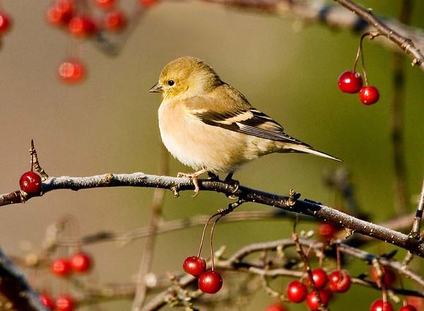 "<div class=""jaDesc""> <h4> Goldfinch in Winter Plumage in Crabapple Tree</h4> <p></p> </div>"