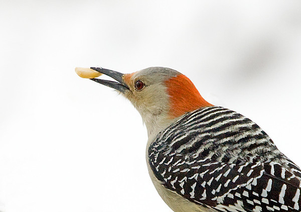 """<div class=""""jaDesc""""> <h4>Female Red-bellied Woodpecker with Peanut</h4> <p></p> </div>"""