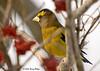 "<div class=""jaDesc""> <h4> Male Evening Grosbeak in Cranberry Bush</h4> <p></p> </div>"