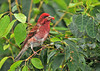 "<div class=""jaDesc""> <h4> Male Purple Finch Eating Serviceberry</h4> <p></p> </div>"