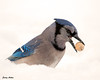 "<div class=""jaDesc""> <h4> Blue Jay with Un-shelled Peanut</h4> <p></p> </div>"