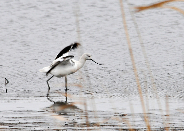"<div class=""jaDesc""> <h4> American Avocets Landing - November 12, 2013</h4> <p> This American Avocet flew in from another location to forage near the high grasses in front of me.  This is their winter plumage; breeding plumage has a rusty brown on the head and neck.</p> </div>"
