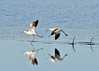 "<div class=""jaDesc""> <h4> American Avocets Taking Off - November 6, 2013</h4> <p> This pair of American Avocets decided to move to another feeding location.  To take off, they start running through the shallow water while flapping their wings.</p> </div>"