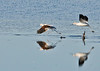 "<div class=""jaDesc""> <h4> American Avocets Getting Airborne - November 6, 2013</h4> <p> The lead Avocet has just jumped into the air, leaving several splashes behind.</p> </div>"