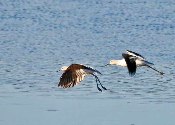 "<div class=""jaDesc""> <h4> American Avocets Fully Airborne - November 6, 2013</h4> <p> They fly with their legs stretched out behind them.   The lead Avocet has not yet stretched his all the way out. </p> </div>"