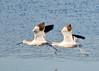 "<div class=""jaDesc""> <h4> American Avocets Picking Out New Feeding Spot - November 6, 2013</h4> <p> Legs are starting to come forward as they are anticipating their next landing spot. </p> </div>"