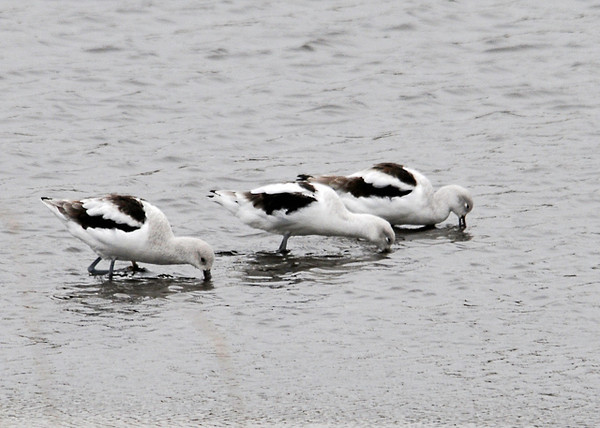 "<div class=""jaDesc""> <h4> American Avocets Feeding - November 12, 2013 - Video Attached</h4> <p> There was a large flock (100+) of American Avocets at Bombay Hook NWR in Delaware.  They did not seem to mind the 15 degree windchill as they moved through the shallow water pecking and sweeping their bills back and forth.  The sweeping motion brings food (crustaceans and other aquatic invertebrates) from the bottom to the surface.  They prefer to walk shoulder to shoulder as they feed.</p> </div> <center> <a href=""http://www.youtube.com/watch?v=ua6WZb93Zkg"" style=""color: #0AC216"" class=""lightbox""><strong> Play Video</strong></a> </center>"