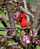 "<div class=""jaDesc""> <h4> Male Cardinal Among Crabapple Blossoms - May 24, 2007 </h4> <p> This bright male Cardinal landed briefly in our blooming crabapple tree on his way to the feeders.</p> </div>"
