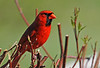 "<div class=""jaDesc""> <h4>Male Cardinal in Red-twig Dogwood - May 11, 2014 </h4> <p>Our male Cardinal came in for a morning visit.  I believe the female is sitting on eggs; she has not been in much lately.</p> </div>"