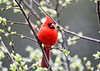 "<div class=""jaDesc""> <h4>Male Cardinal in Breeding Plumage - May 4, 2020</h4> <p></p> </div>"