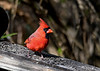 "<div class=""jaDesc""> <h4>Male Cardinal Visiting - October 16, 2016</h4> <p>I hadn't seen the adult male for quite awhile.  With the Sharp-shinned Hawk around, they have been staying hidden.</p> </div>"