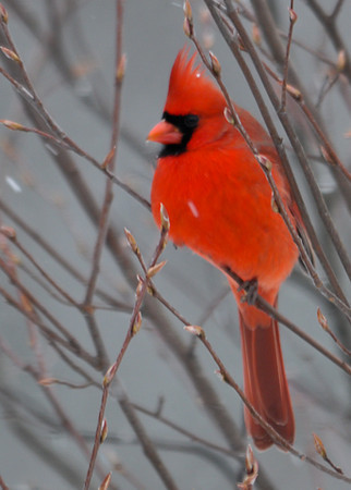 """<div class=""""jaDesc""""> <h4>Male Cardinal in Snow Storm - December 27, 2012 </h4> <p>This year's first snow storm brought a lot of birds into the feeder.  This guy really stuck out from all the rest.</p> </div>"""