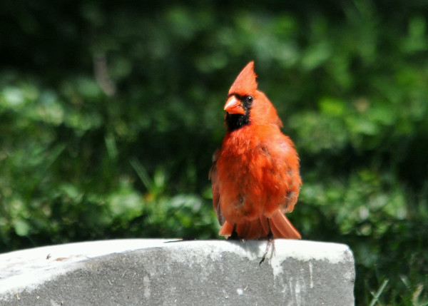 """<div class=""""jaDesc""""> <h4>Male Cardinal on Grave Stone - July 6, 2014 </h4> <p>This male Cardinal surprised me when he landed out in the open on one of the grave stones.</p> </div>"""