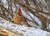 "<div class=""jaDesc""> <h4>Female Cardinal in Snow - December 9, 2016</h4> <p>Our Cardinal pair were in the feeding areas all day during a snow storm.  This shot of Mrs. Cardinal was taken during the beginning of the storm.</p> </div>"