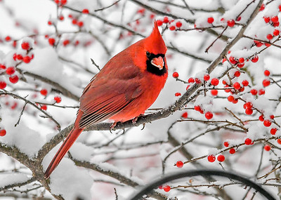 Male Cardinal In Winterberry Bush - November 16, 2018 Red berries to compliment his beautiful red feathers.