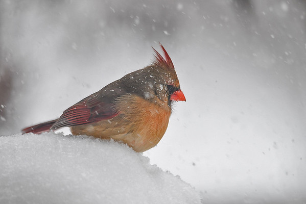 """<div class=""""jaDesc""""> <h4>Female Cardinal with Snow on Face - March 14, 2017</h4> <p>I always feel bad for the birds when it is so frigid cold, but they don't seem to mind.</p> </div>"""