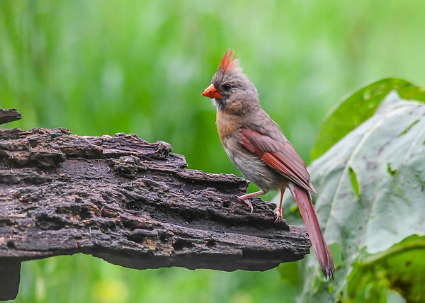 "<div class=""jaDesc""> <h4>Female Cardinal Looking for Seed - August 21, 2018</h4> <p>Not much left by mid afternoon. </p> </div>"
