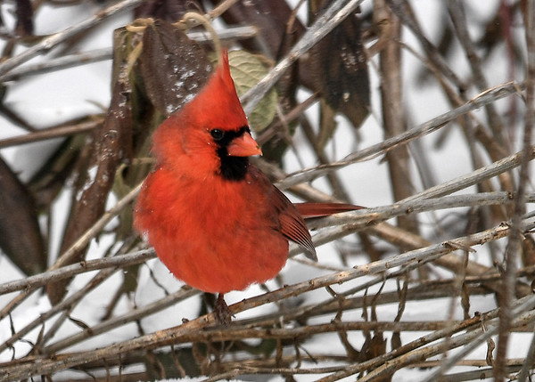 """<div class=""""jaDesc""""> <h4>Male Cardinal on One Leg - March 11, 2017</h4> <p>This male Cardinal was alternating standing on one leg during sub-zero windchill weather.</p> </div>"""