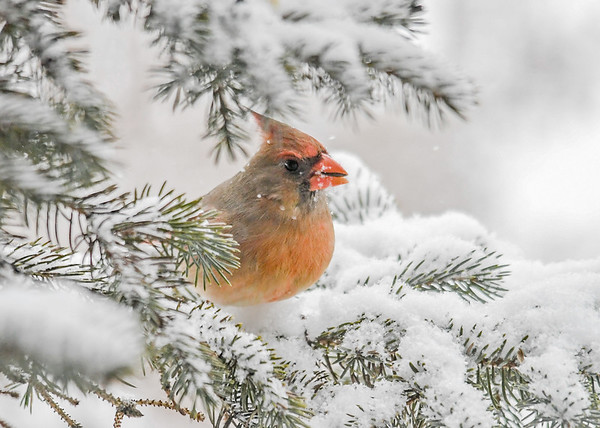 <h4>Male Cardinal Side View - January 30, 2019</h4> <p> </p>
