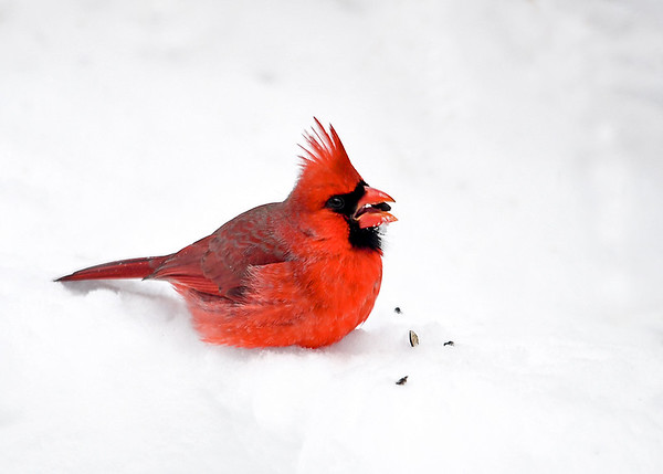 "<div class=""jaDesc""> <h4>Male Cardinal in Fresh Fluffy Snow - February 9, 2017</h4> <p>Mr. Cardinal always looks best with a snowy background.  We got 6 inches of fresh fluffy snow last night.</p> </div>"