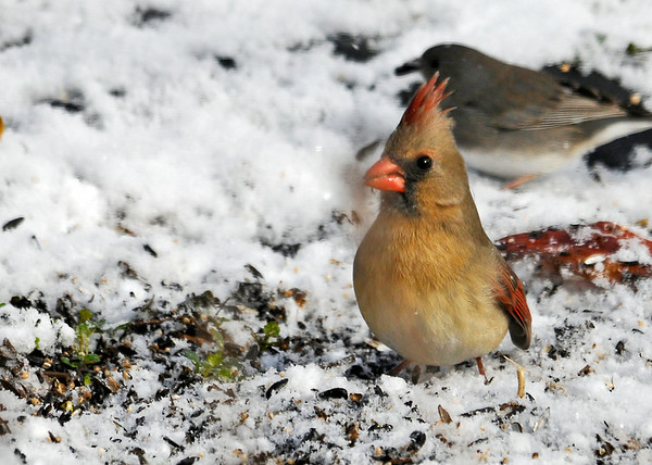 """<div class=""""jaDesc""""> <h4>Female Cardinal Ground Feeding in Snow - March 31, 2014 </h4> <p>I love to catch the Cardinals with their crest up.  This female was ground feeding and alerted on a nearby movement.</p> </div>"""
