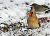 "<div class=""jaDesc""> <h4>Female Cardinal Ground Feeding in Snow - March 31, 2014 </h4> <p>I love to catch the Cardinals with their crest up.  This female was ground feeding and alerted on a nearby movement.</p> </div>"