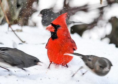 """<div class=""""jaDesc""""> <h4>Male Cardinal Ignoring Junco Tussle - December 14, 2017</h4> <p>Our adult male Cardinal was surrounded by Juncos two of which were arguing over territory.</p> </div>"""