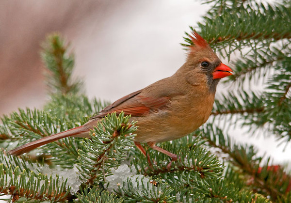 "<div class=""jaDesc""> <h4>Female Cardinal in Spruce Tree - March 5, 2012 </h4> <p>This female Cardinal likes to hunt for the black-oiled sunflower seeds I toss in our used Christmas tree.</p> </div>"
