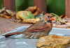 "<div class=""jaDesc""> <h4> Female Cardinal Bathing - September 16, 2011 </h4> <p> This female Cardinal takes a bath every day in this make shift bird bath on the deck.  She approaches cautiously by hopping in from under the patio furniture.</p> </div>"