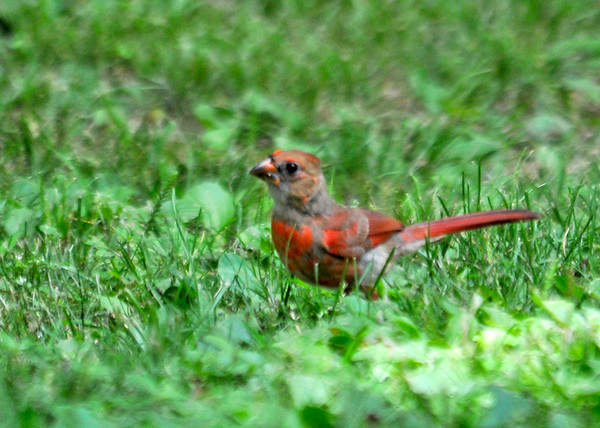 """<div class=""""jaDesc""""> <h4> Juvenile Cardinal Ground Feeding - July 9, 2014</h4> <p> This juvenile Cardinal has figured out that ground feeding is easy underneath the pole feeder where lots of seed falls on the ground.  Juvenile Cardinals  are usually a mix of male and female colors.  I beieve this is a young male, the red is very prominent.</p> </div>"""