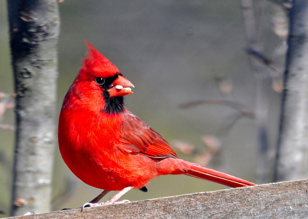 """<div class=""""jaDesc""""> <h4>Male Cardinal in Breeding Plumage - April 24, 2014 </h4> <p>Our male Cardinal picked just the right time to come in for breakfast this morning.  He was eating safflower seeds, his favorite.  This is the brightest he looks during the year.</p> </div>"""