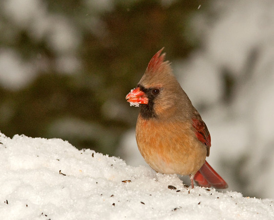 """<div class=""""jaDesc""""> <h4> Lady Cardinal in Snow Storm - February 25, 2011 - Video Attached </h4> <p> Our female Cardinal came in to tank up during a heavy snow storm. While she was eating she was constantly moving her head around scanning for any predators.</p> </div> </br> <center> <a href=""""http://www.youtube.com/watch?v=slRiLDGXhns"""" class=""""lightbox""""><img src=""""http://d577165.u292.s-gohost.net/images/stories/video_thumb.jpg"""" alt=""""""""/></a> </center>"""