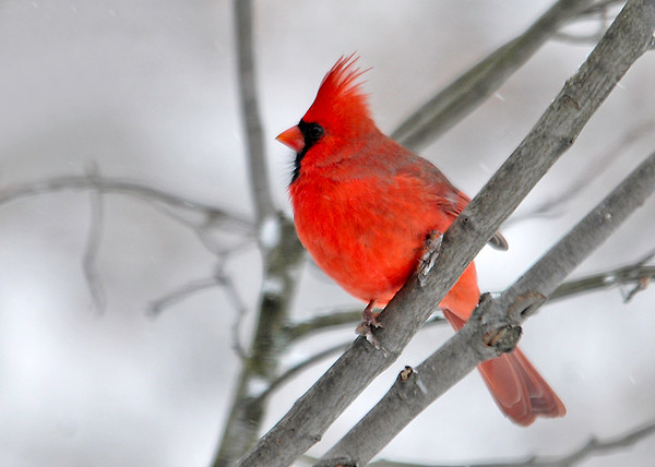 """<div class=""""jaDesc""""> <h4>Male Cardinal in Snow Storm - November 27, 2014 </h4> <p>Our male Cardinal really stands out in the snow.  He is looking extra bright the last few weeks. </p> </div>"""