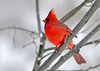"<div class=""jaDesc""> <h4>Male Cardinal in Snow Storm - November 27, 2014 </h4> <p>Our male Cardinal really stands out in the snow.  He is looking extra bright the last few weeks. </p> </div>"