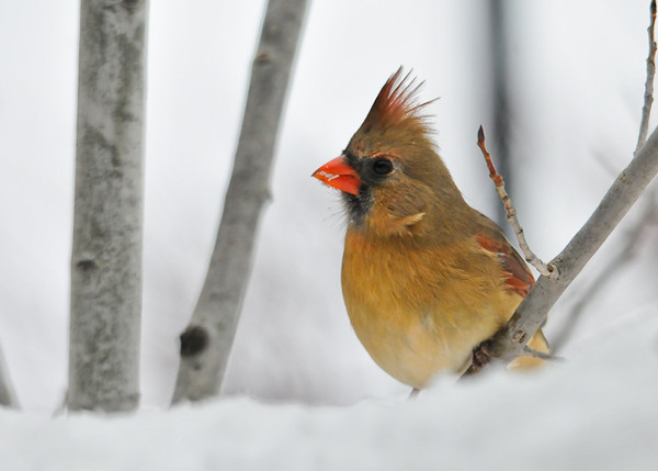 """<div class=""""jaDesc""""> <h4>Female Cardinal after the Snow Storm - December 27, 2012 </h4> <p>Late in the day after the snow storm let up a bit, this gal made an appearance.  She always comes in along with her lifetime mate.</p> </div>"""
