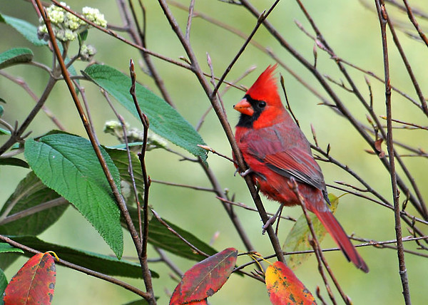 """<div class=""""jaDesc""""> <h4>Male Cardinal Visits - October 23, 2011 </h4> <p> The Cardinals have been very elusive all summer. Just in the past month have they started showing up in the yard during daylight hours.</p> </div>"""
