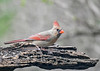 "<div class=""jaDesc""> <h4>Female Cardinal On Alert - April 24, 2019</h4> <p></p> </div>"