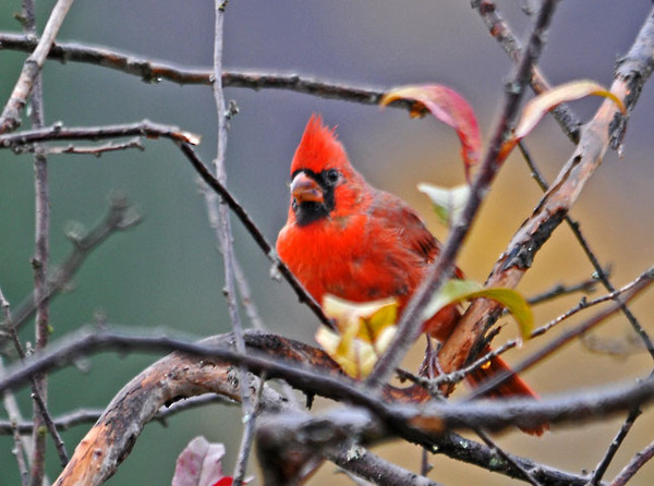 """<div class=""""jaDesc""""> <h4> Immature Cardinal - October 24, 2011 </h4> <p> This is the first time I have seen this year's immature male Cardinal. Notice that his beak still has a bit of black in it which will disappear as he matures.</p> </div>"""